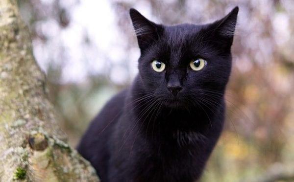 رؤية القطط السوداء في المنام